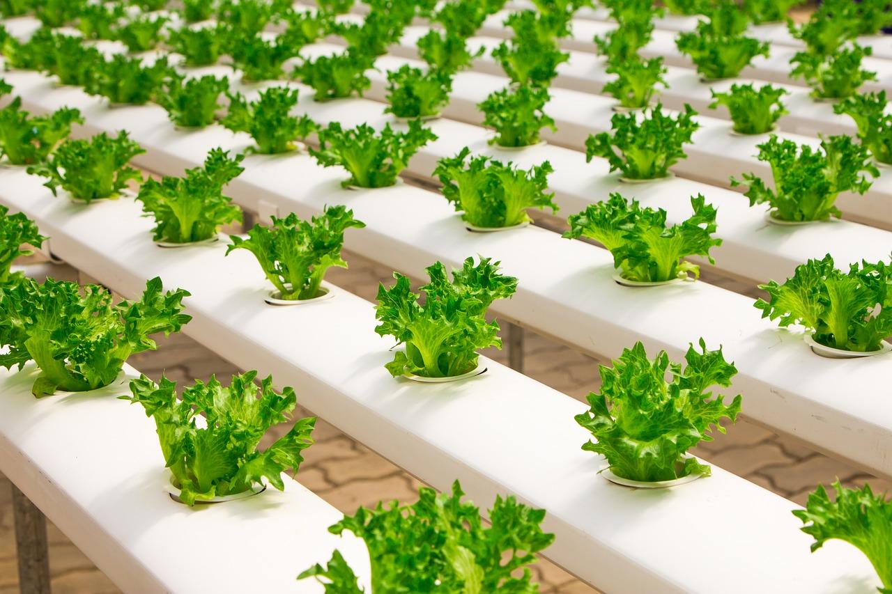 hydroponic crystal lettuce 2