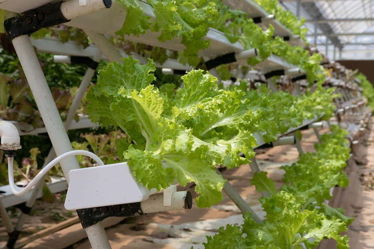 hydroponic crystal lettuce
