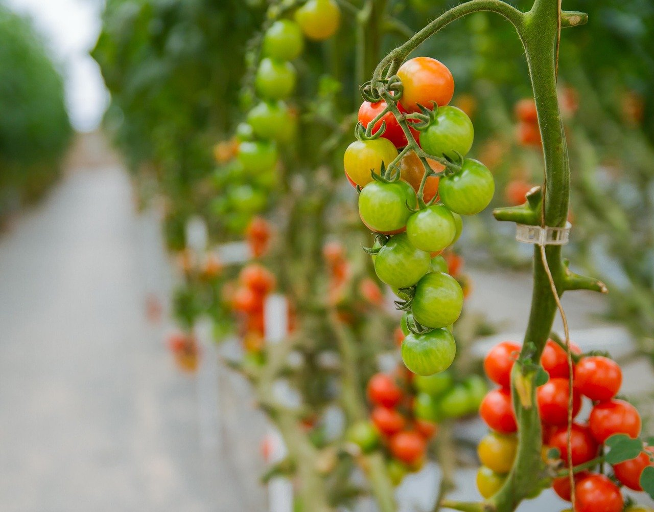 hydroponic tomatoes 2